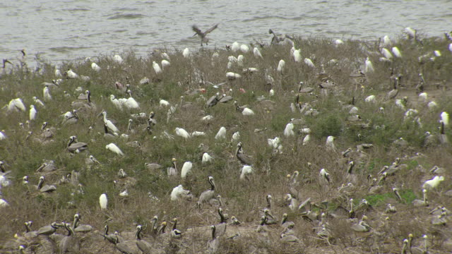 vídeos de stock, filmes e b-roll de ms aerial ts zi shot of large nesting island with pelicans and roseate spoonbills and egrets / louisiana, united states - pelicano