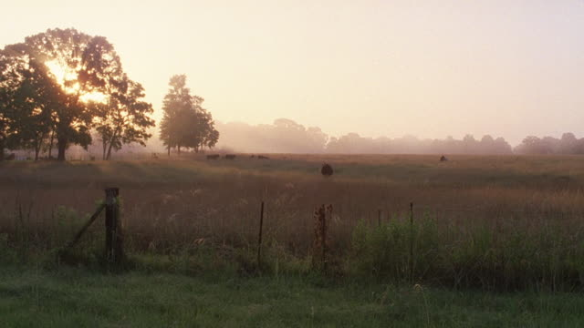 MS ZI Shot of large pasture with cattle graze in fog and sun is low in sky