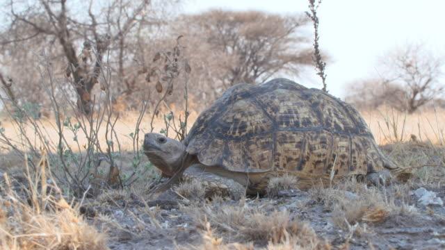 vidéos et rushes de ms shot of large tortoise  / central kalahari game reserve, botswana - lenteur
