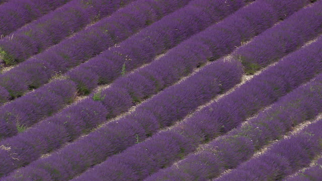 MS AERIAL Shot of Lavender fields / Rhone Alpes, France