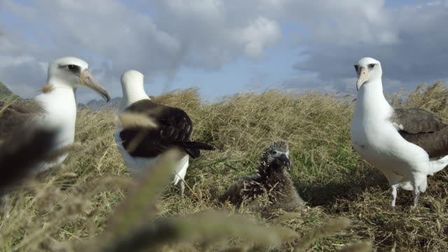 ms shot of laysan albertrosses in tall grass rubbing beaks together chick nearby / oahu, united states - albatross stock videos & royalty-free footage