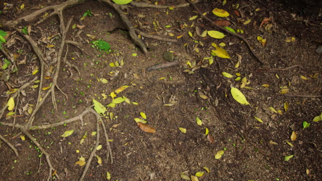 ms t/l shot of leaf cutter ants as leaf falls in their path they cut it up and clear it / cartagena, colombia - large group of animals stock videos and b-roll footage