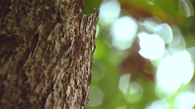 ms ts shot of leafcutter ants carrying leaves up and down tree trunk /  panama city, panama - leaf cutter ant stock videos and b-roll footage