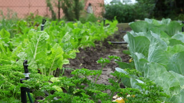MS R/F Shot of leafy vegetables growing in a community garden in Khayelitsha township / Cape Town, South Africa