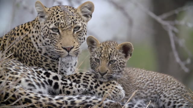ms shot of leopard and cub sleeping on termite mound  / kruger national park, mpumalanga, south africa - provinz mpumalanga stock-videos und b-roll-filmmaterial