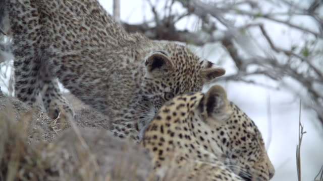 ms ts slo mo shot of leopard cub stretching next to female leopard / kruger national park, mpumalanga, south africa - mpumalanga province stock videos and b-roll footage