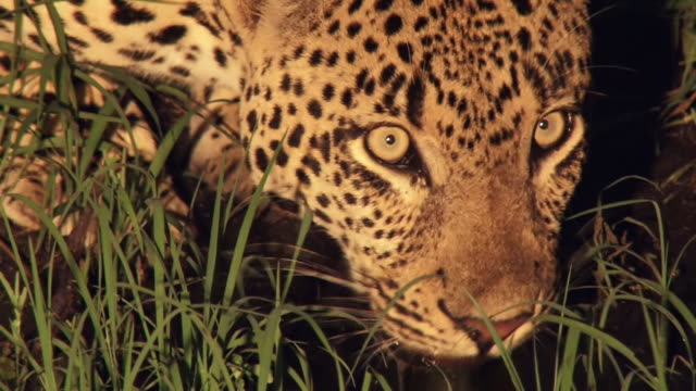 cu shot of leopard drinking at night / kruger national park, mpumalanga, south africa - animal head stock videos & royalty-free footage