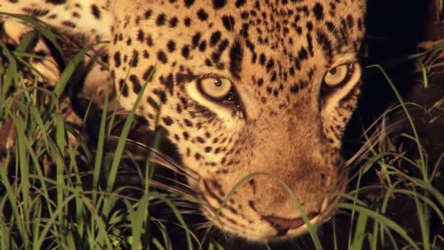 vídeos de stock, filmes e b-roll de cu pan shot of leopard drinking at night / kruger national park, mpumalanga, south africa - bigode de animal