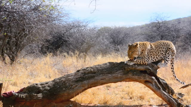 MS Shot of leopard eating at bush camp on safari at Africat Foundation to help animals / Okonjima Private Reserve, Namibia, South Africa