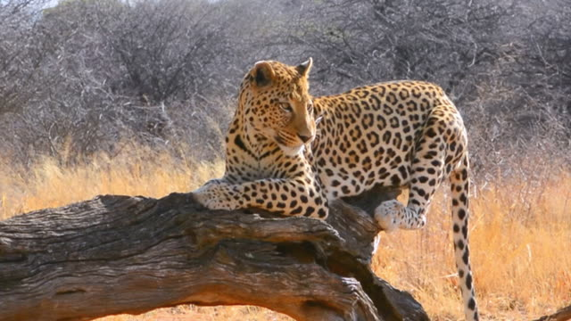 cu shot of leopard eating at bush camp on safari at africat foundation to help animals / okonjima private reserve, namibia, south africa - safari animals stock videos & royalty-free footage