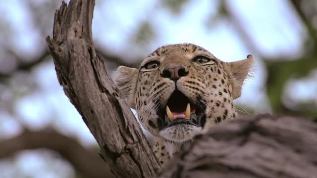 ECU Shot of Leopard (panthera pardus) Female standing in Tree branch / Moremi Reserve, Africa, Botswana