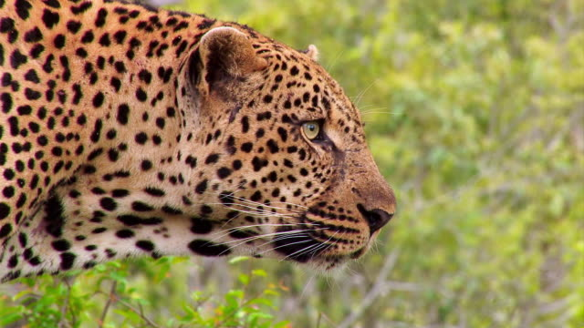 CU Shot of Leopard looking out / Kruger National Park, Mpumalanga, South Africa