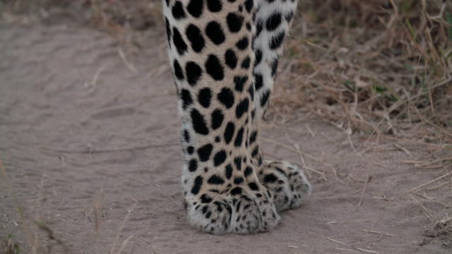 MS SLO MO Shot of Leopard paws on road / Kruger National Park, Mpumalanga, South Africa