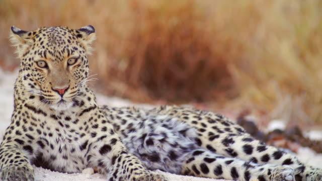 ms shot of leopard resting on dirt road / etosha national park, namibia - morrhår bildbanksvideor och videomaterial från bakom kulisserna