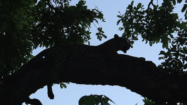 ms shot of leopard silhouette in tree / moremi reserve, botswana, south africa - leopard stock videos & royalty-free footage