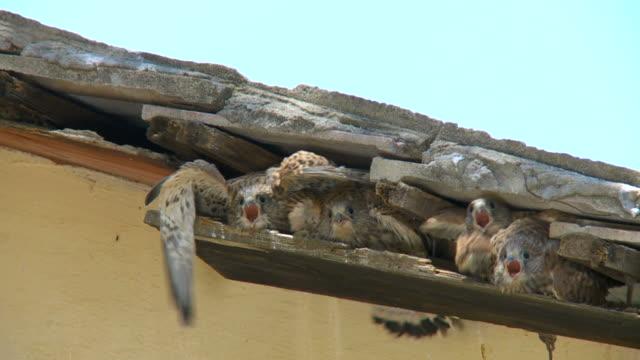 vídeos de stock, filmes e b-roll de ms shot of lesser kestrel (falco naumanni) feeding chicks in old house roof / judea, israel - ave de rapina