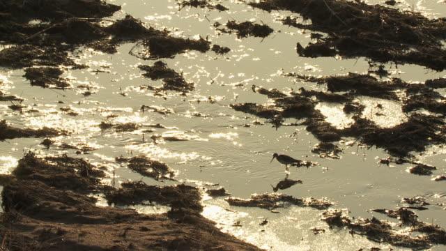 ws slo mo shot of lesser yellowlegs tringa flavipes in silhouette / kearney, nebraska, united states - クサシギ属点の映像素材/bロール
