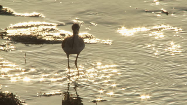 cu tu slo mo shot of lesser yellowlegs tringa flavipes in silhouette sparkly water / kearney, nebraska, united states - クサシギ属点の映像素材/bロール