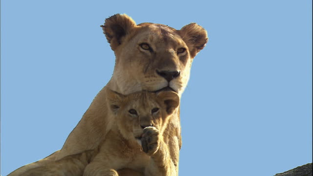 shot of lion cub and its mother lioness - raubtier stock-videos und b-roll-filmmaterial