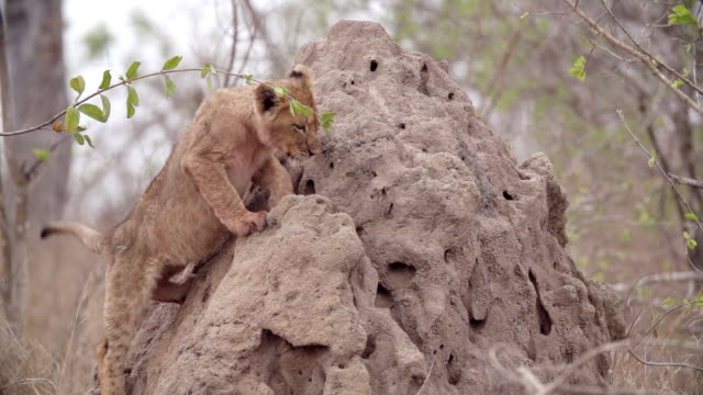 ms slo mo shot of lion cub climbing termite mound / kruger national park, mpumalanga, south africa - provinz mpumalanga stock-videos und b-roll-filmmaterial