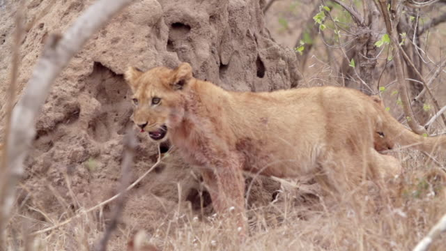 ms slo mo shot of lion cub climbing termite mound / kruger national park, mpumalanga, south africa - mpumalanga province stock videos and b-roll footage