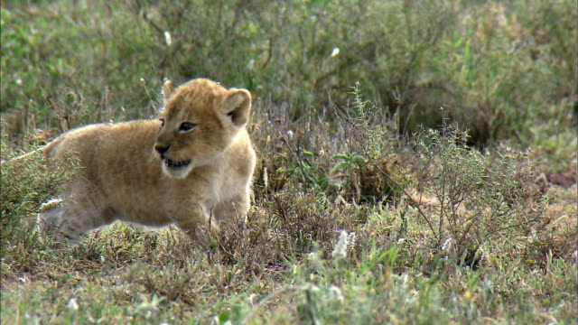 shot of lion cub crying alone - young animal stock videos & royalty-free footage
