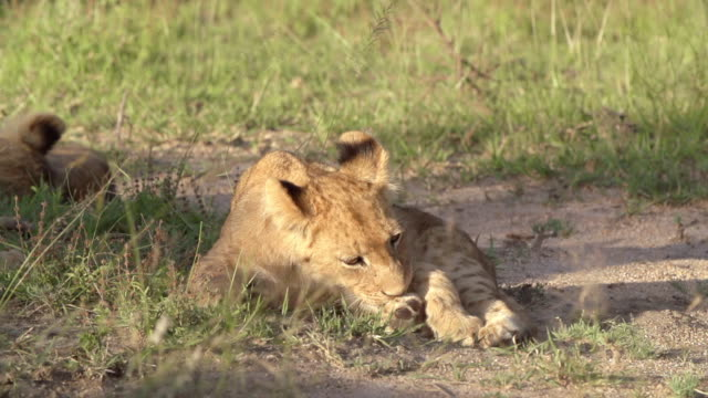 ms slo mo shot of lion cub grooming / kruger national park, mpumalanga, south africa - mpumalanga province stock videos and b-roll footage