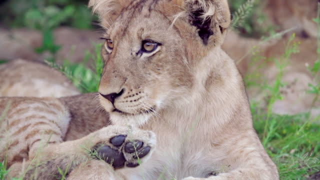 cu slo mo shot of lion cub licking paws / kruger national park, mpumalanga, south africa - mpumalanga province stock videos and b-roll footage