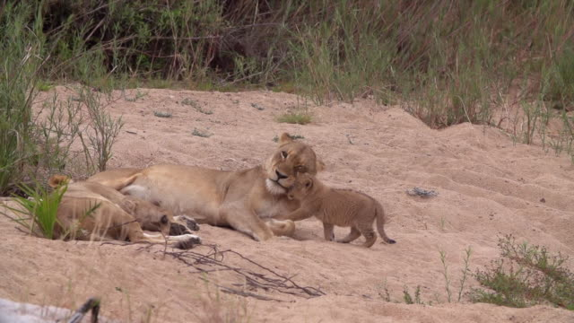 ws pan slo mo shot of lion cub nuzzling / kruger national park, mpumalanga, south africa - mpumalanga province stock videos and b-roll footage