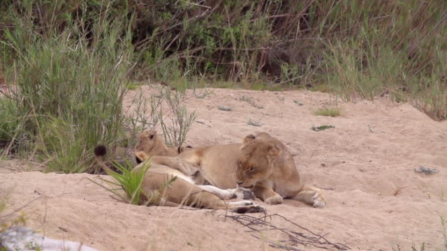ws slo mo shot of lion cub nuzzling / kruger national park, mpumalanga, south africa - vier tiere stock-videos und b-roll-filmmaterial