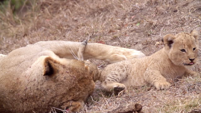 ms slo mo shot of lion cub nuzzling / kruger national park, mpumalanga, south africa - mpumalanga province stock videos and b-roll footage