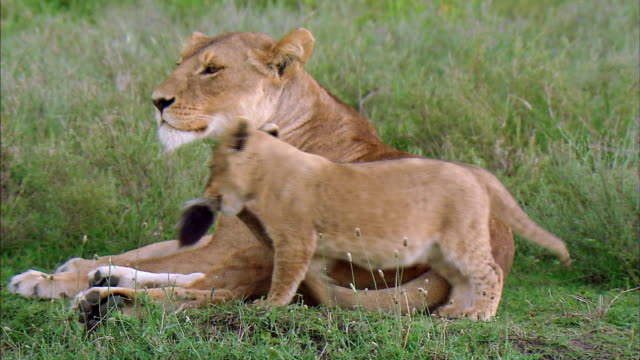 shot of lion cub playing with its mother's tail - young animal stock videos & royalty-free footage