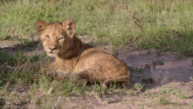 ms shot of lion cub resting / kruger national park, mpumalanga, south africa - mpumalanga province stock videos and b-roll footage