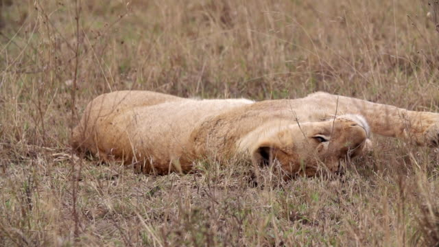 ms slo mo shot of lion cub resting / kruger national park, mpumalanga, south africa - mpumalanga province stock videos and b-roll footage