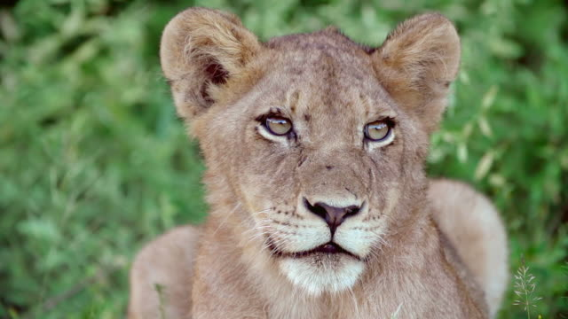 ms slo mo shot of lion cub staring / kruger national park, mpumalanga, south africa - großwild stock-videos und b-roll-filmmaterial
