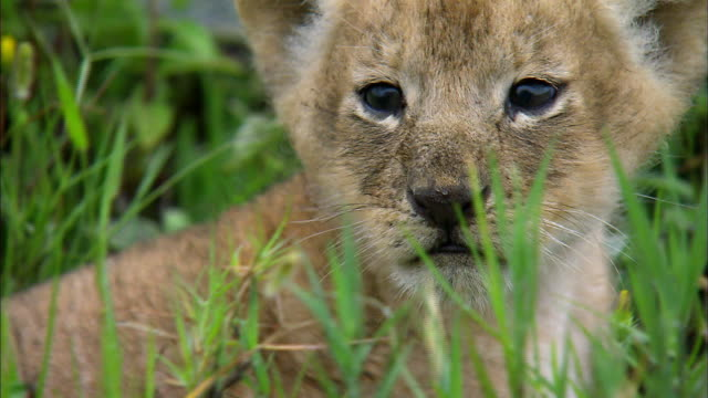 shot of lion cub - young animal stock videos & royalty-free footage