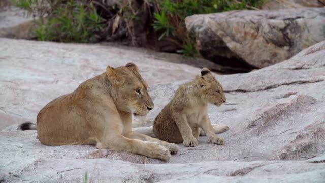 ms pan shot of lion cub walking / kruger national park, mpumalanga, south africa - mpumalanga province stock videos and b-roll footage