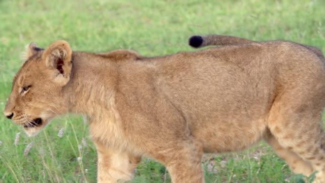 ms ts slo mo shot of lion cub walking / kruger national park, mpumalanga, south africa - mpumalanga province stock videos and b-roll footage