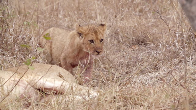 ms slo mo shot of lion cub walking / kruger national park, mpumalanga, south africa - mpumalanga province stock videos and b-roll footage