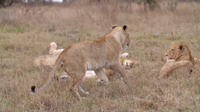 ms pan shot of lion cub walking with limp / kruger national park, mpumalanga, south africa - wounded stock videos & royalty-free footage