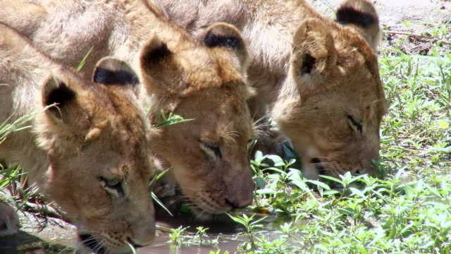 ms shot of lion cubs drinking / kruger national park, mpumalanga, south africa - mpumalanga province stock videos and b-roll footage