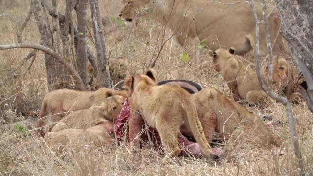 ms shot of lion cubs feeding / kruger national park, mpumalanga, south africa - mpumalanga province stock videos and b-roll footage