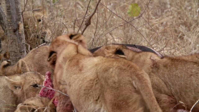 ms ts shot of lion cubs feeding / kruger national park, mpumalanga, south africa - mpumalanga province stock videos and b-roll footage