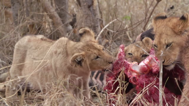 ms pan shot of lion cubs feeding / kruger national park, mpumalanga, south africa - mpumalanga province stock videos and b-roll footage