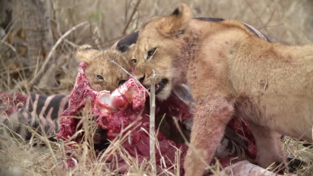 ms shot of lion cubs feeding / kruger national park, mpumalanga, south africa - provinz mpumalanga stock-videos und b-roll-filmmaterial