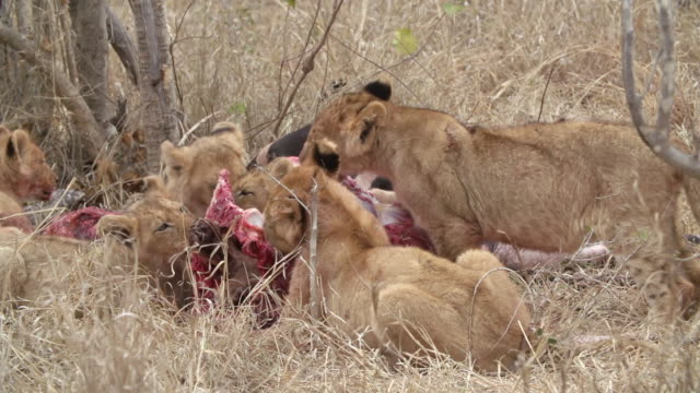 ms shot of lion cubs feeding / kruger national park, mpumalanga, south africa - animal blood stock videos and b-roll footage