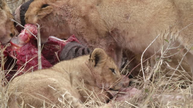 cu shot of lion cubs feeding / kruger national park, mpumalanga, south africa - mpumalanga province stock videos and b-roll footage