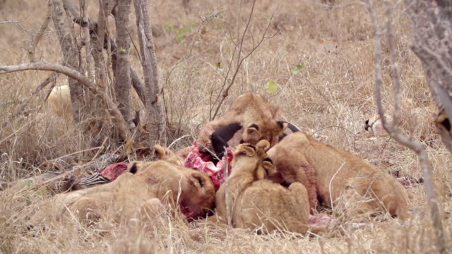 ws slo mo shot of lion cubs feeding / kruger national park, mpumalanga, south africa - mpumalanga province stock videos and b-roll footage
