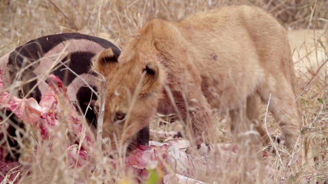 ms slo mo shot of lion cubs feeding / kruger national park, mpumalanga, south africa - mpumalanga province stock videos and b-roll footage