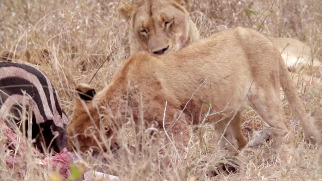 ms slo mo shot of lion cubs feeding / kruger national park, mpumalanga, south africa - provinz mpumalanga stock-videos und b-roll-filmmaterial